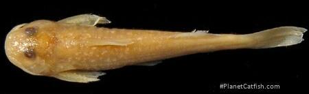 Zaireichthys rotundiceps