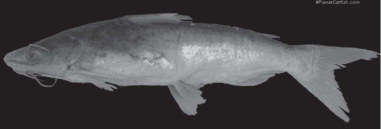 Cathorops belizensis