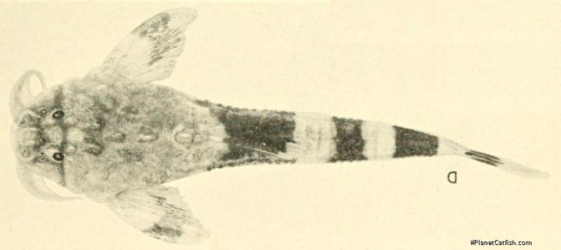 Dupouyichthys sapito