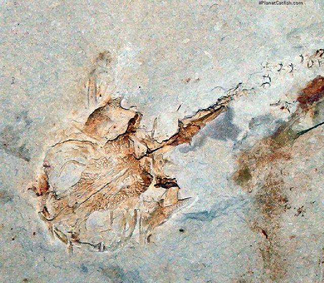 Astephus antiquus