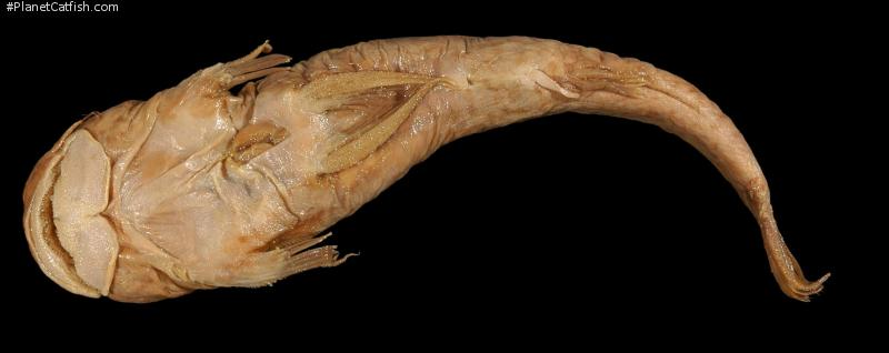 Astroblepus brachycephalus