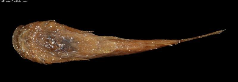 Astroblepus cirratus