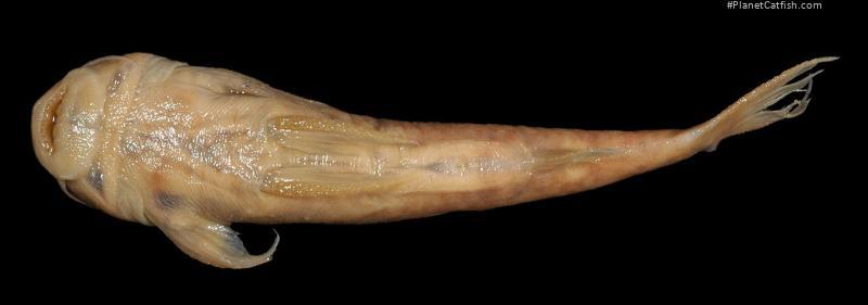 Astroblepus eigenmanni