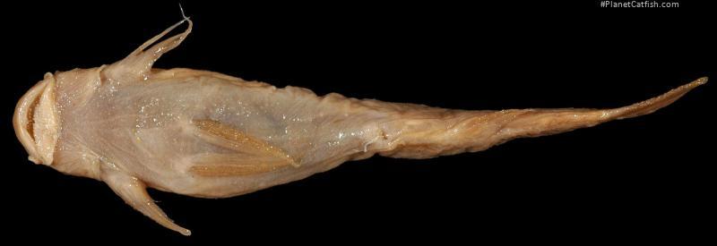 Astroblepus fissidens