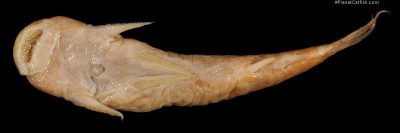 Astroblepus orientalis