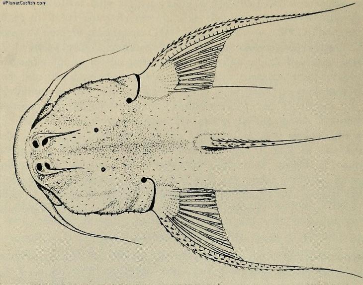 Astroblepus pholeter