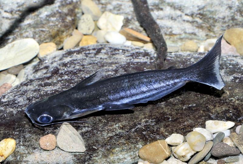 Auchenipterus nigripinnis