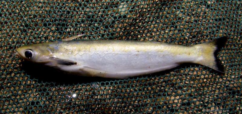 Auchenipterus nuchalis