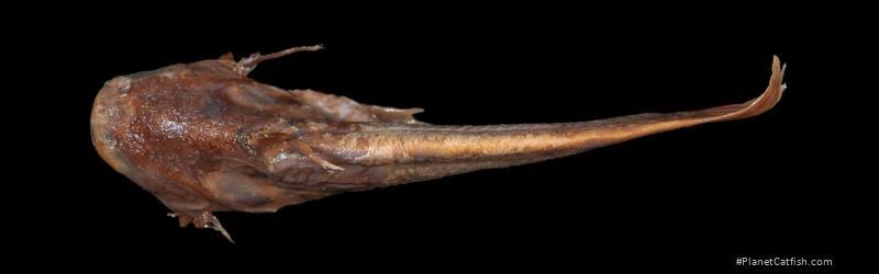 Trachelyichthys decaradiatus
