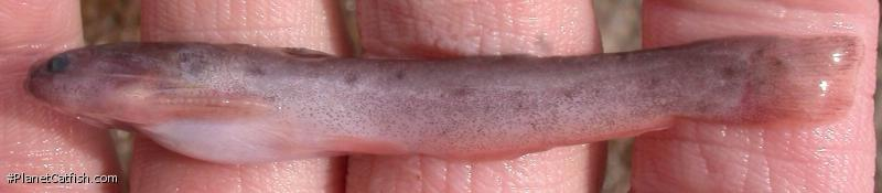 Trachelyopterichthys anduzei
