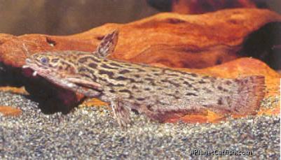 Trachelyopterus coriaceus