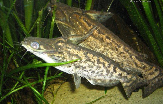 Trachelyopterus fisheri