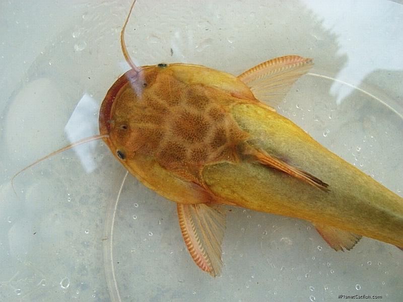 Trachelyopterus sp. (2)