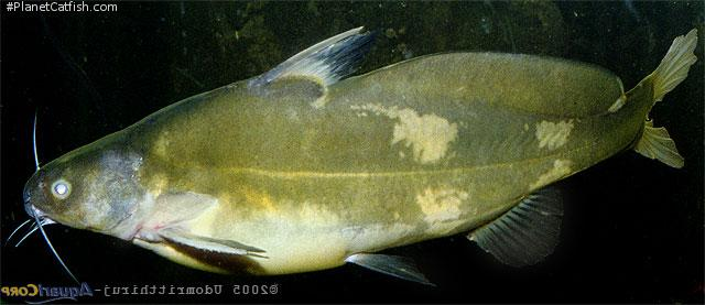 Bagrichthys obscurus