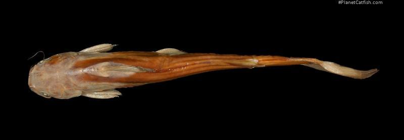 Tachysurus eupogon