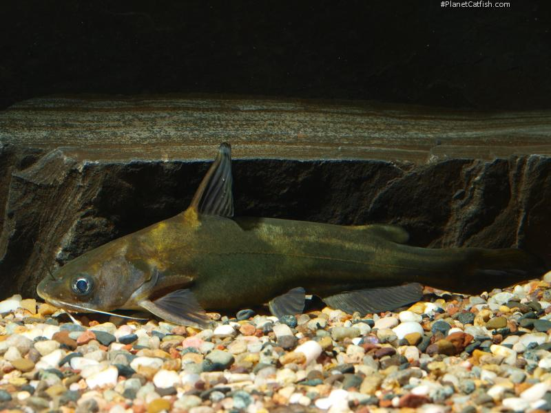 Tawny Dragon Catfish, Amur Catfish, Yellow Catfish - Tachysurus ...