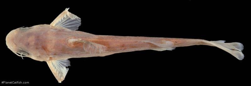 Tachysurus nubilosus