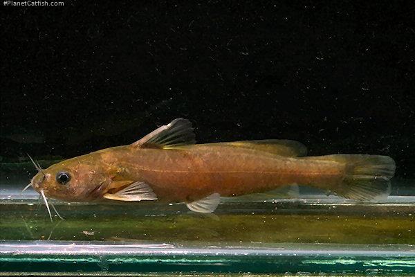 Tachysurus tenuis