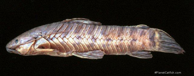 Callichthys serralabium
