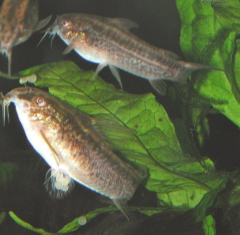 Corydoras(ln5) gracilis
