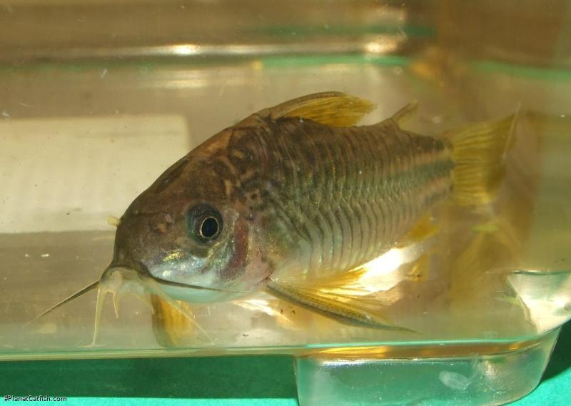 Corydoras(ln5) sp. (C126)