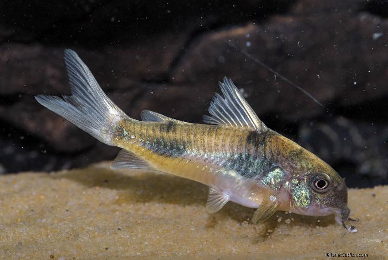 Corydoras(ln6) ehrhardti