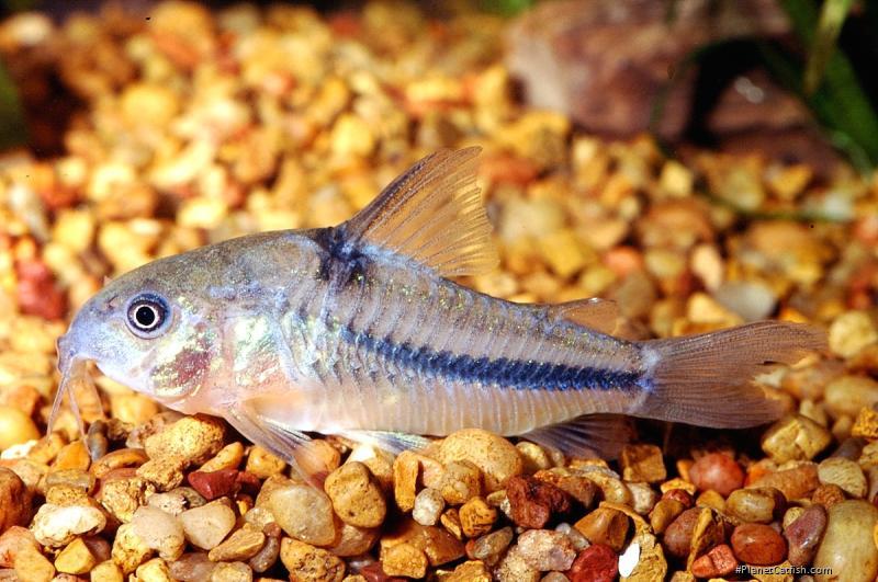 Corydoras(ln6) nattereri
