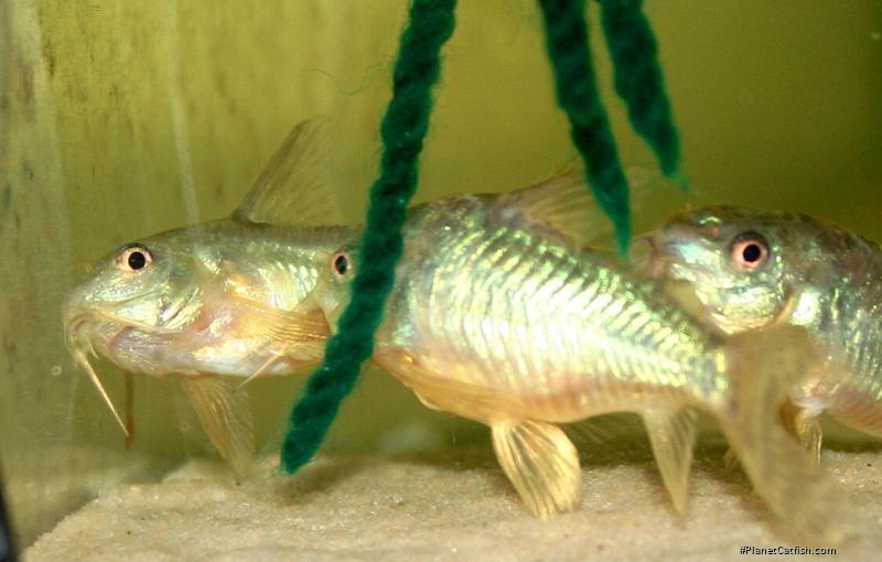 Corydoras(ln6) paleatus