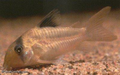 Corydoras(ln6) potaroensis