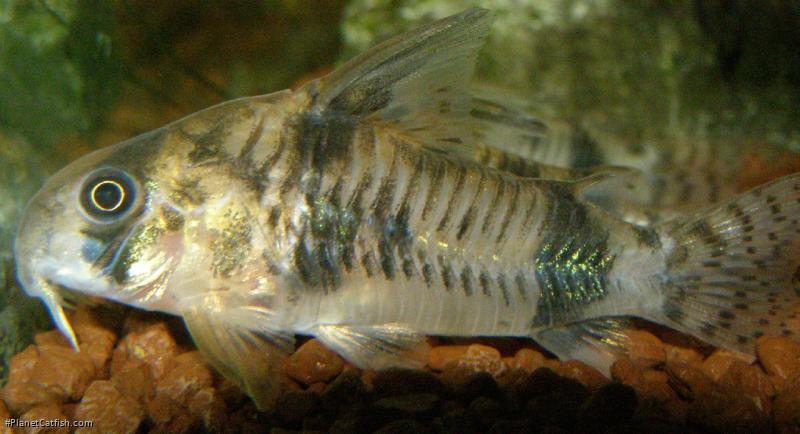 Corydoras(ln6) reynoldsi