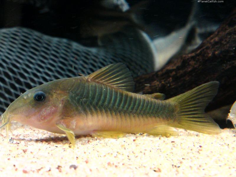Corydoras(ln7) melanotaenia