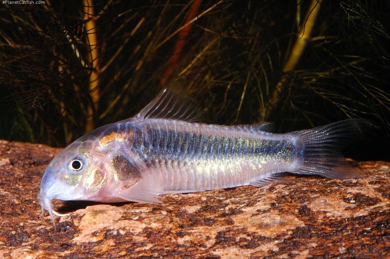 Corydoras(ln7) sp. (Cw007)