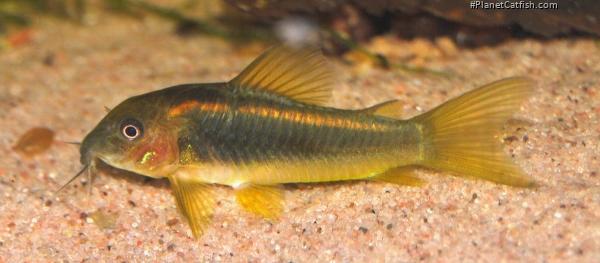 Corydoras(ln7) sp. (Cw010)