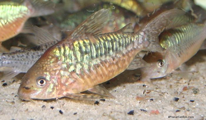 Corydoras(ln8sc3) pantanalensis
