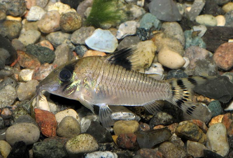 Corydoras(ln8sc4) condiscipulus
