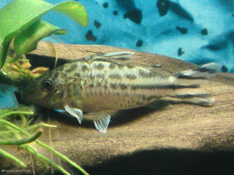 Corydoras(ln8sc4) robineae