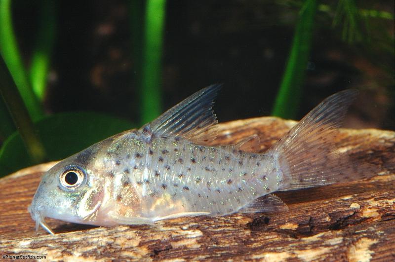 Corydoras(ln8sc4) sp. (C097)