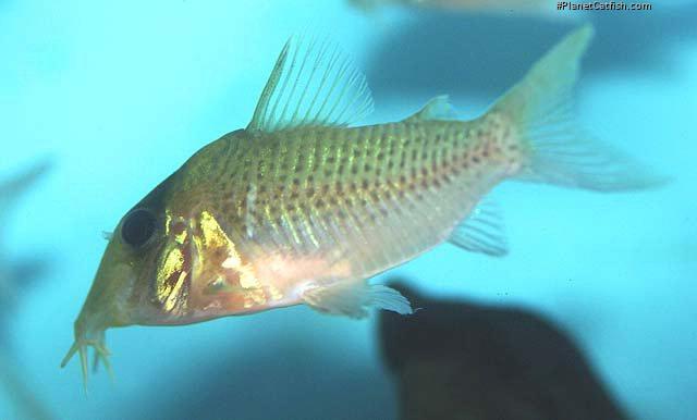 Corydoras(ln8sc4) sp. (Cw138)