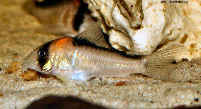 Corydoras(ln9) adolfoi