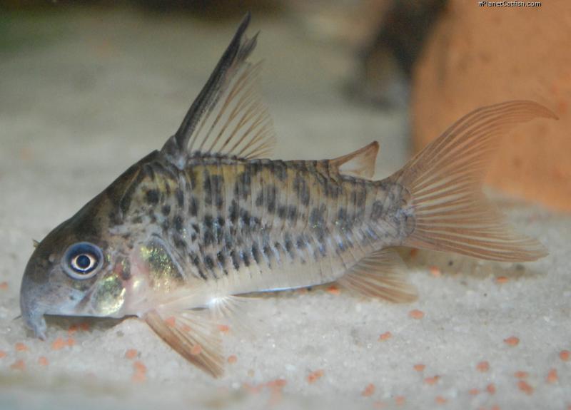 Corydoras(ln9) armatus