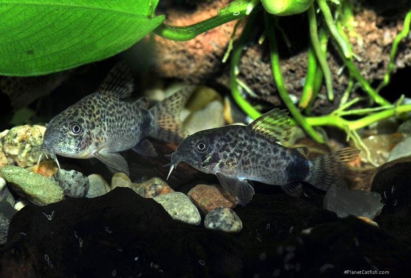 Corydoras(ln9) caudimaculatus