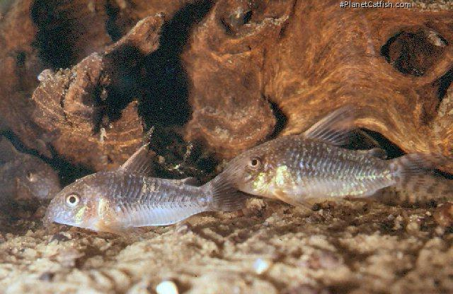 Corydoras(ln9) gossei