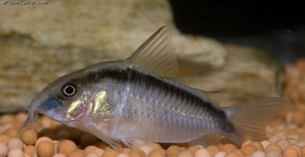 Corydoras(ln9) granti