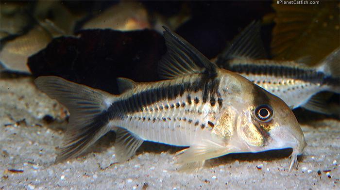 Corydoras(ln9) loxozonus