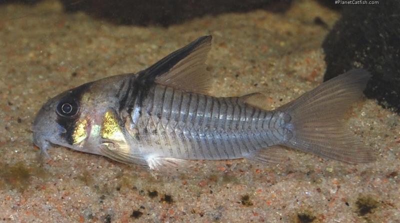 Corydoras(ln9) sp. (C096)