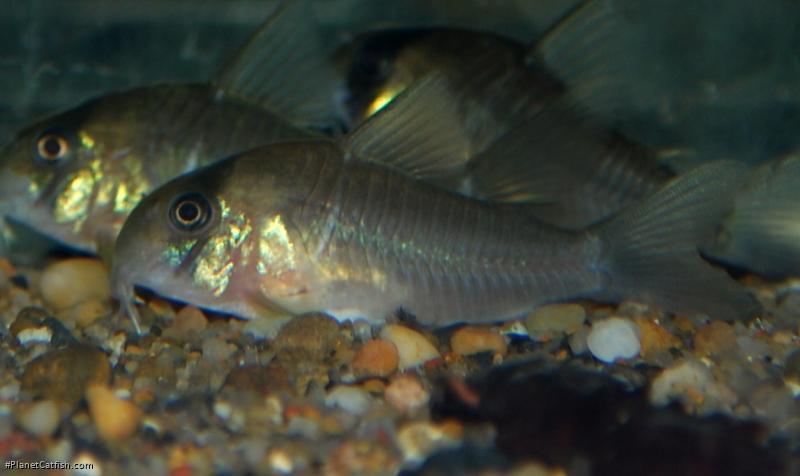 Corydoras(ln9) sp. (C134)