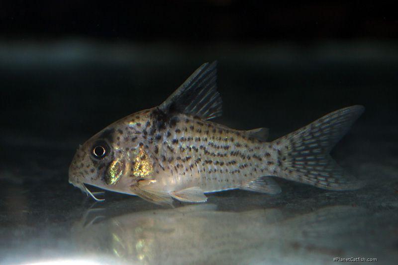 Corydoras(ln9) sp. (Cw001)