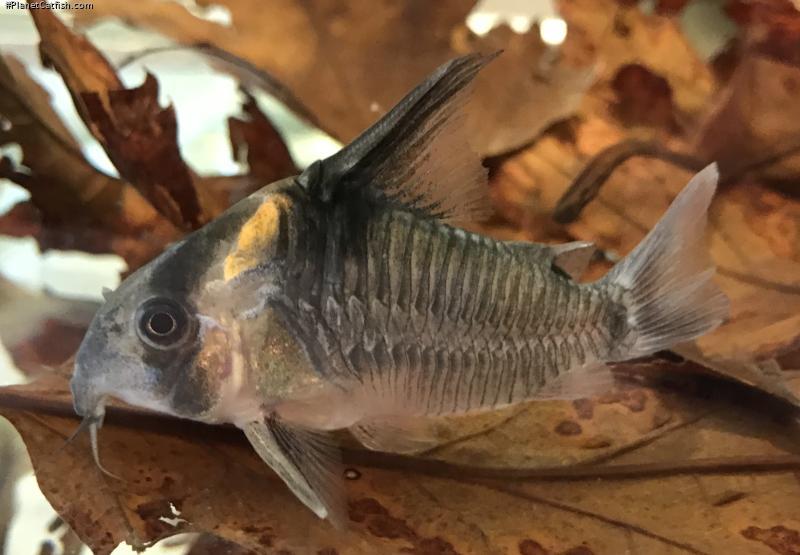 Corydoras(ln9) sp. (Cw045)