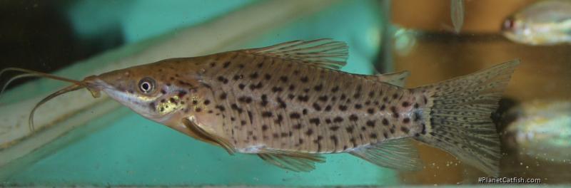 Hoplosternum punctatum