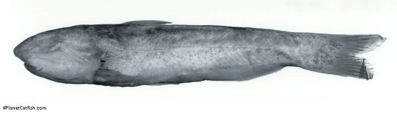 Cetopsis caiapo